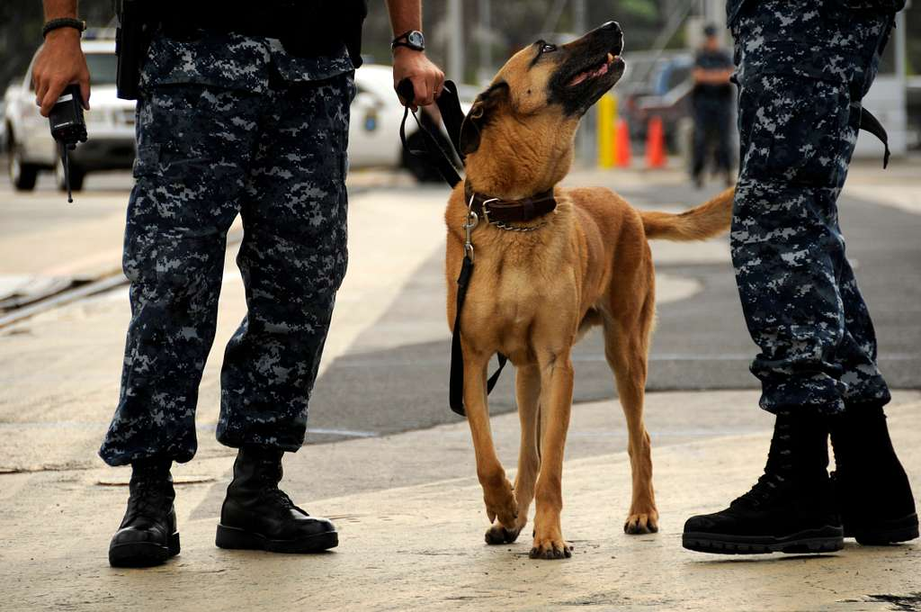 Joint Base Pearl Harbor-Hickam security military dog Rossi arrives at the pier to search for hidden improvised explosive devices during exercise Solid Curtain-Citadel Shield 2010.